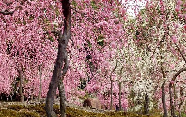 城南宮の枝垂梅