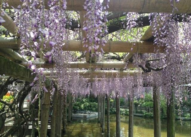 越ケ谷久伊豆神社の藤まつり