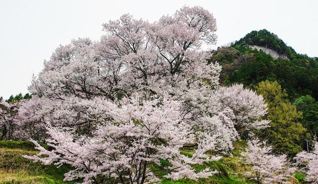 佛隆寺の古桜