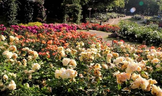 靱公園バラ祭
